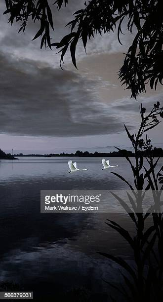 Swans Flying Over River Against Cloudy Sky At Dusk