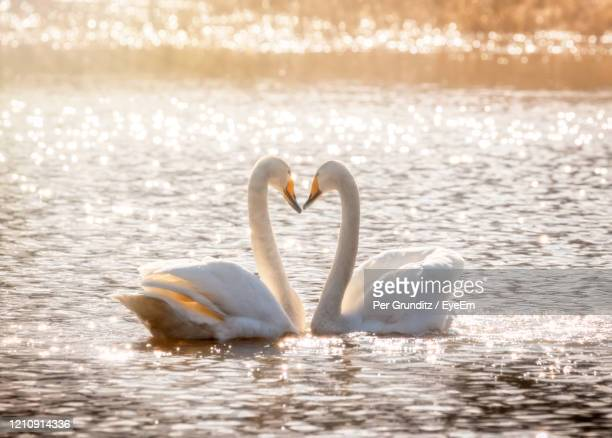 swans in a lake forming a heart - per grunditz stock pictures, royalty-free photos & images