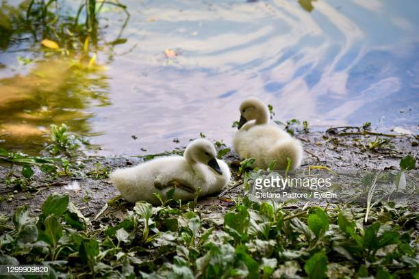 swans in a lake - treviso italy stock pictures, royalty-free photos & images