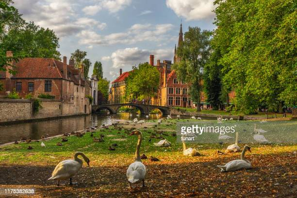 swans in a public park in bruges, belgium - bruges stock pictures, royalty-free photos & images