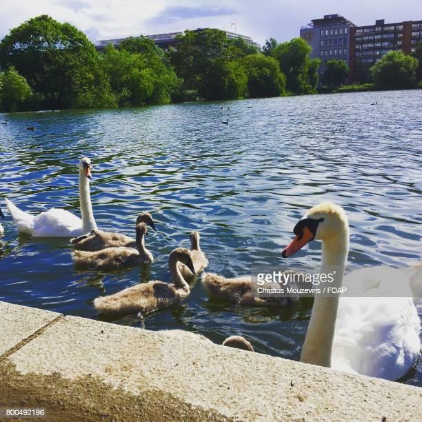Swans in copenhagen denmark
