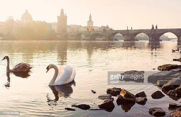 Swans vor der Charles Brücke in Prag, Tschechische Republik