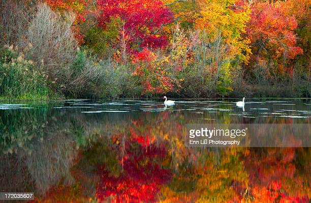 Swans  in lake in autumn