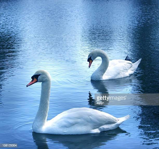 Swans nel lago