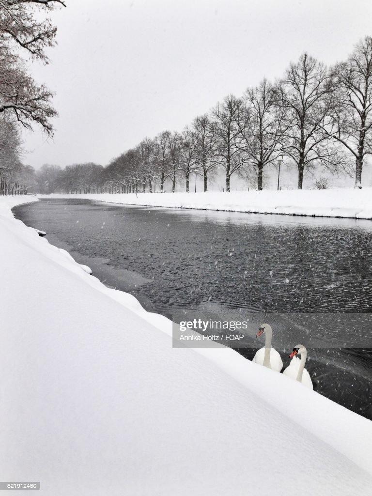 Swans in lake : Stock Photo