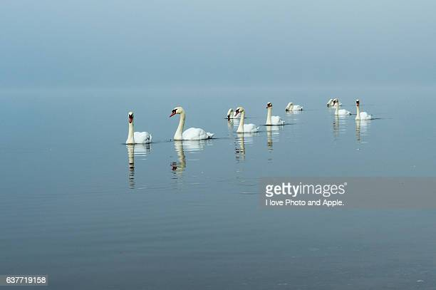 Swans in Lake Yamanaka