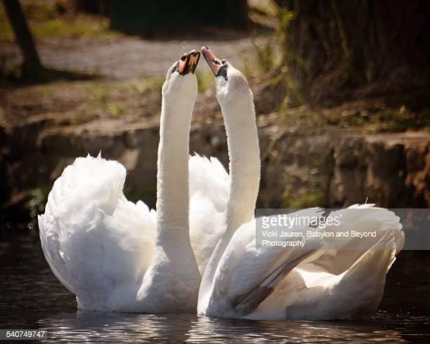 Swans in Love at Argyle Lake