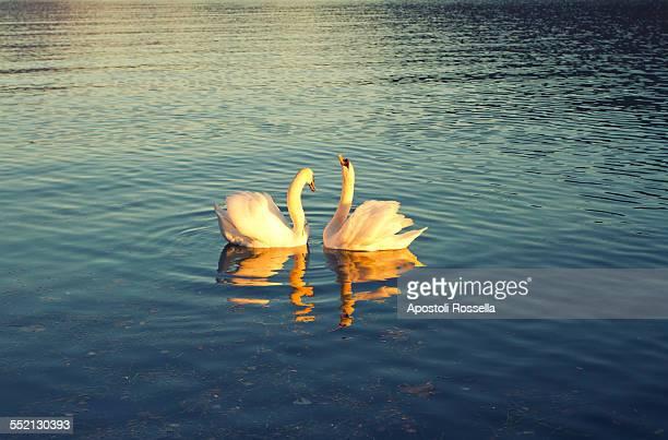 Swans in love in the lake