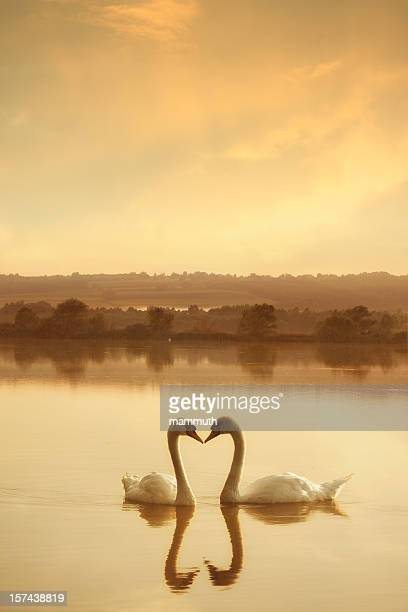 swans in amore