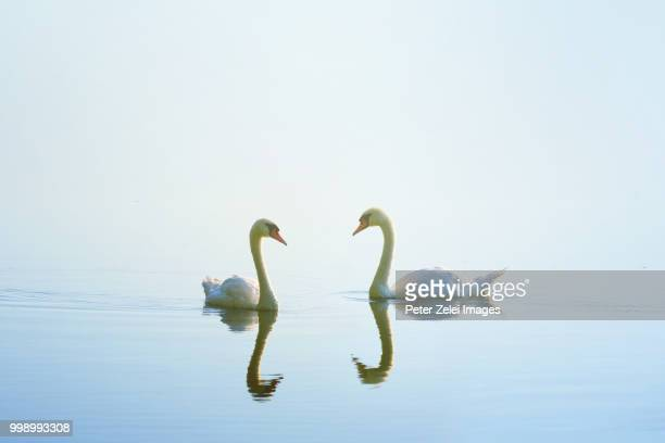 swans in love - swan stock pictures, royalty-free photos & images