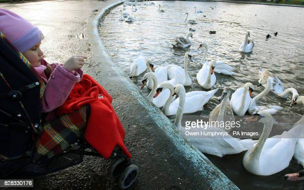 Swans in South Shields Tyne and Wear Monday February 20 on the day that a veterinary leader attempted to calm fears about the possible spread of...