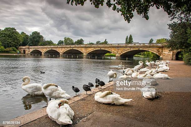 Swans in the Serpentine Lake, Hyde Park, London