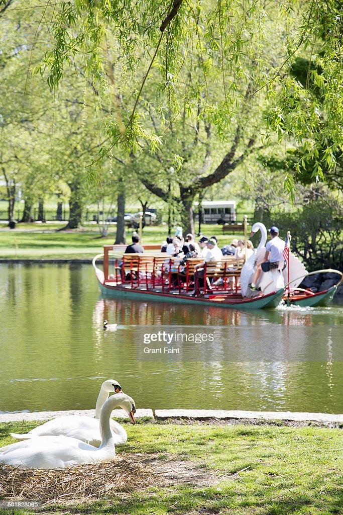 Swans nesting in park : Stock Photo