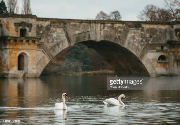 swans on a river by bridge - river stock pictures, royalty-free photos & images