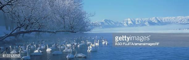 Swans on Lake Kussharo, Hokkaido, Japan