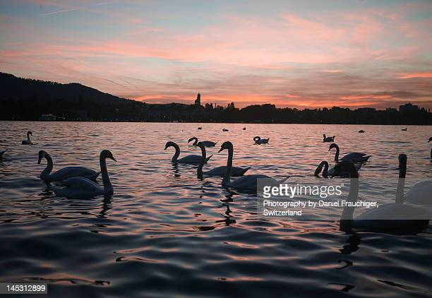 Swans on Lake Zurich