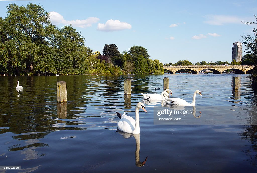 Swans on Long lake : Stock Photo