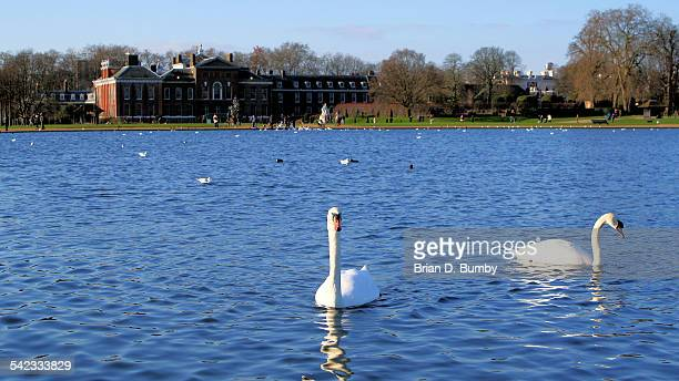 Swans on Round Pond with Kensington Palace