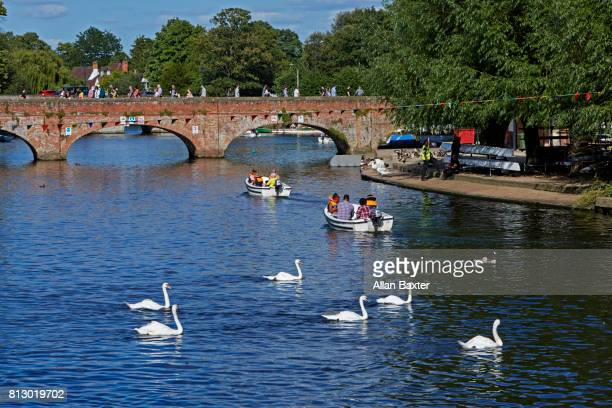 Swans on the river Avon in Stratford upon Avon