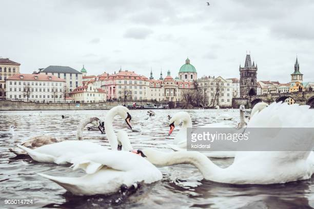 swans on the vltava river in prague old city - vltava river stock photos and pictures