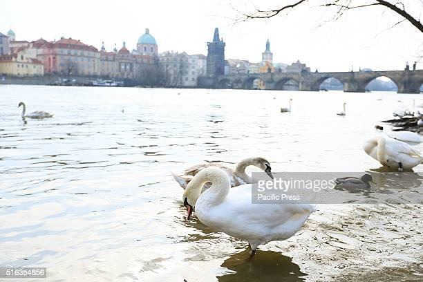 Swans on the Vltava River with Charles Bridge in background in Prague the capital and largest city of the Czech Republic