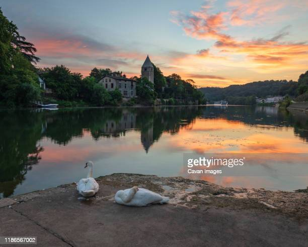 swans perching at ile barbe against sky during sunset - ローヌ県 ストックフォトと画像