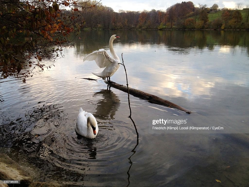 Swans Perching On Log And Swimming In Pond : Foto stock