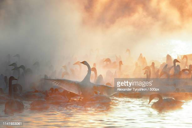 swans - waist deep in water stock pictures, royalty-free photos & images