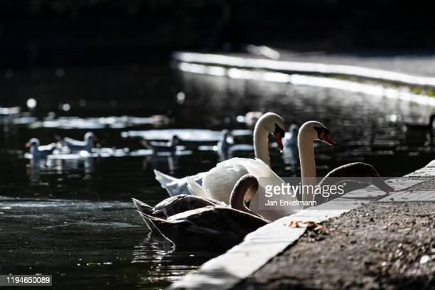 swans - battersea park stock pictures, royalty-free photos & images