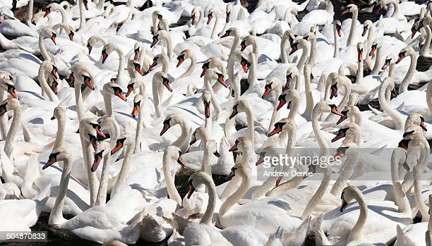 swans - andrew dernie stock pictures, royalty-free photos & images