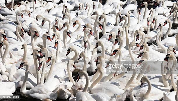 swans - andrew dernie - fotografias e filmes do acervo