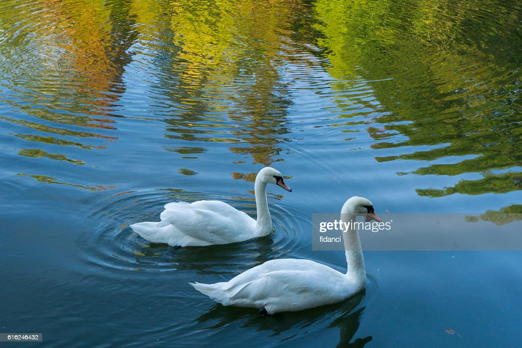 swans : Stock Photo