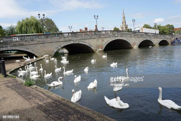 Swans @ River Ouse, Bedford