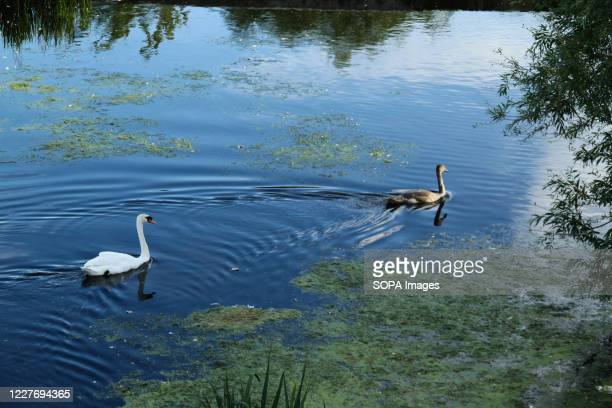 Swans seen in a pond at Mile End Park during a hot day.