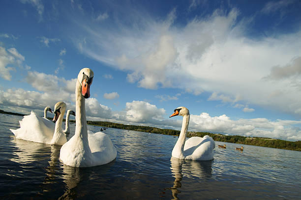 Swans summer day
