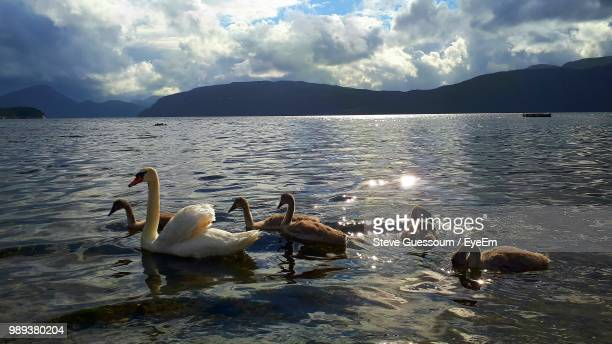 Swans Swimming In Lake Against Cloudy Sky