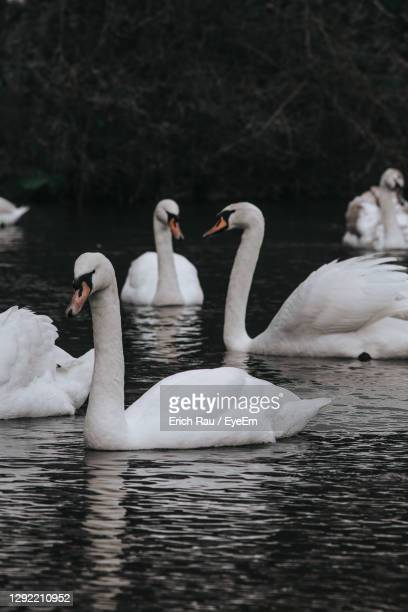 swans swimming in lake - medium group of animals stock pictures, royalty-free photos & images