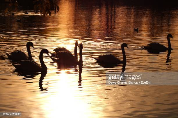 swans swimming in lake sunset - medium group of animals stock pictures, royalty-free photos & images