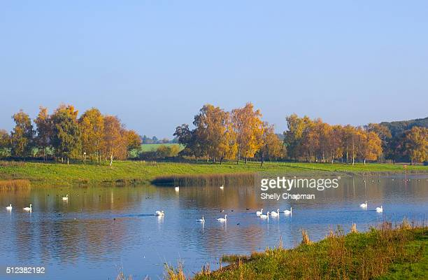 swans swimming in the lake, sywell country park - northamptonshire stock pictures, royalty-free photos & images