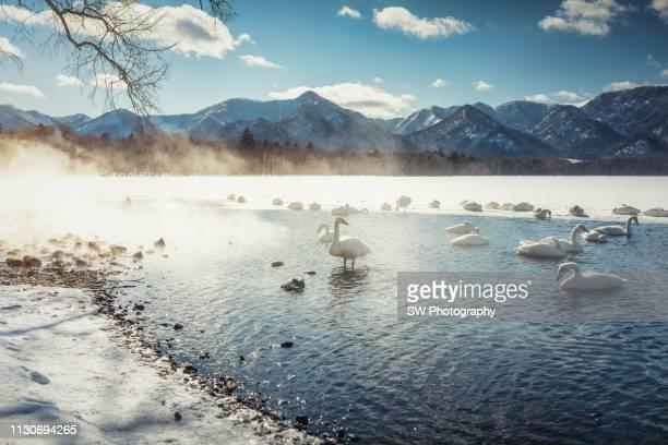 swans swimming in winter lake in hokkaido, japan - 地形 ストックフォトと画像