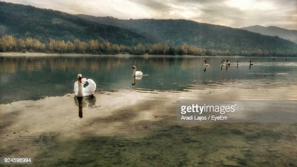 Swans Swimming On Lake Against Mountains