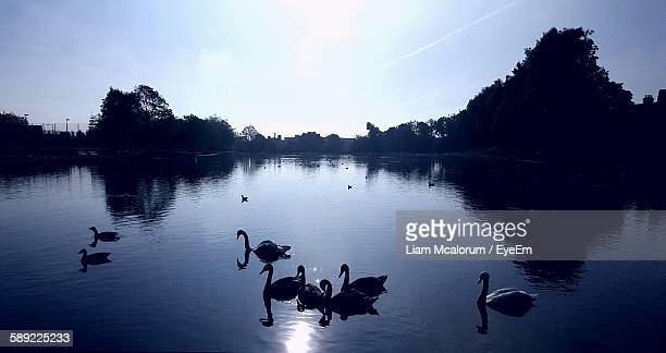 Swans Swimming On Lake Against Sky