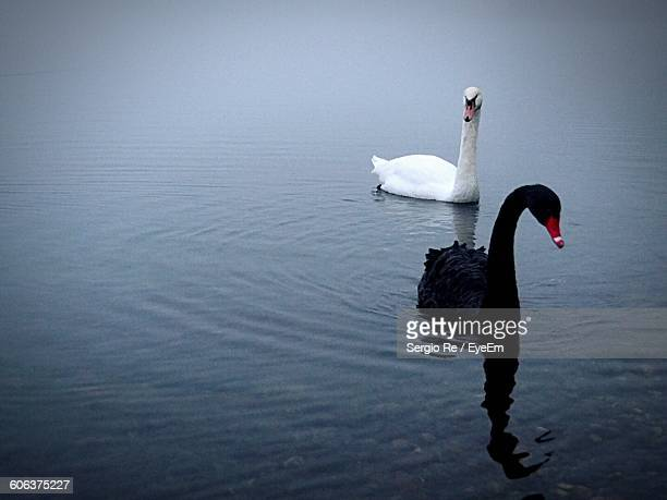 Swans Swimming On Lake