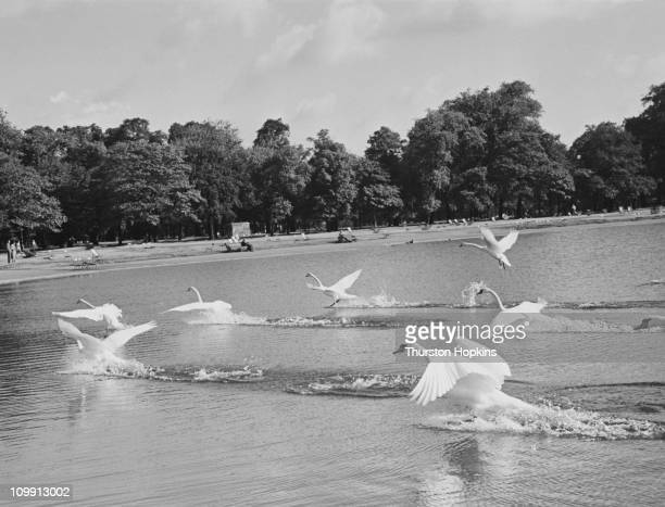 Swans take flight from the Round Pond in Kensington Gardens, London, June 1952. Original publication: Picture Post - 5882 - Sunday On The Round Pond...