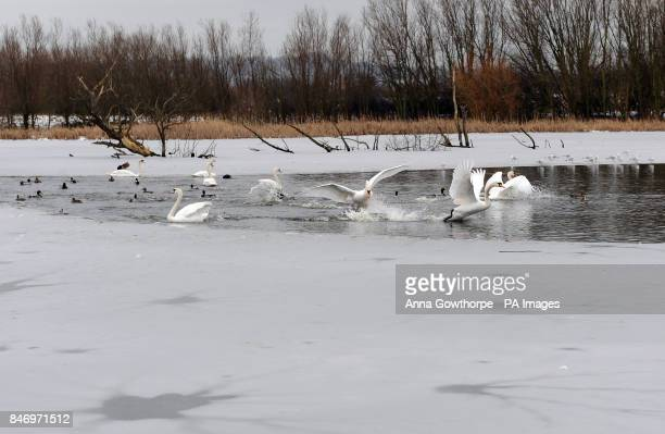 Swans take off from a small patch of melted water in their frozen surroundings at Fairburn Ings RSPB Reserve Castleford