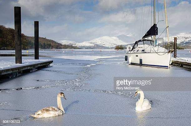 Swans trying to get through the ice on Windermere on a very cold day in January. The photo shows the snow covered mountains of the Lake District in...