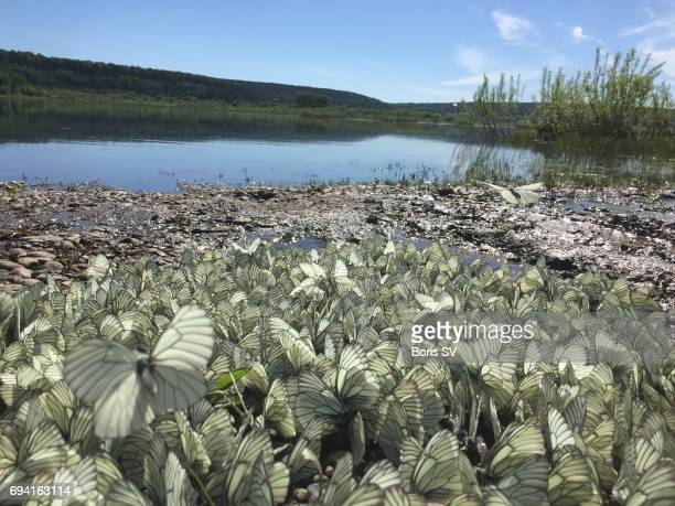 Swarm of cabbage butterflies by the riverbank