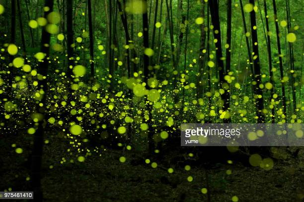 swarm of fireflies in bamboo forest, japan - glowworm stock pictures, royalty-free photos & images