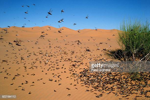 Swarm of grasshoppers near bush in sandy desert (Taghit, Grand Erg, Sahara Desert, Algeria)