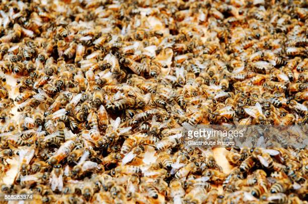 Swarm of Honey Bees on Hive Frame